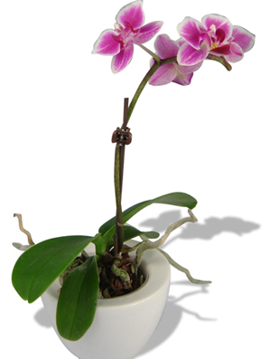 orchidee-publicitaire-bis.png