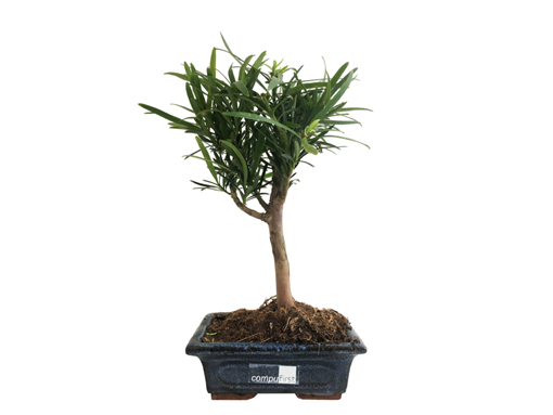 bonsai-pin-des-bouddhistes.png